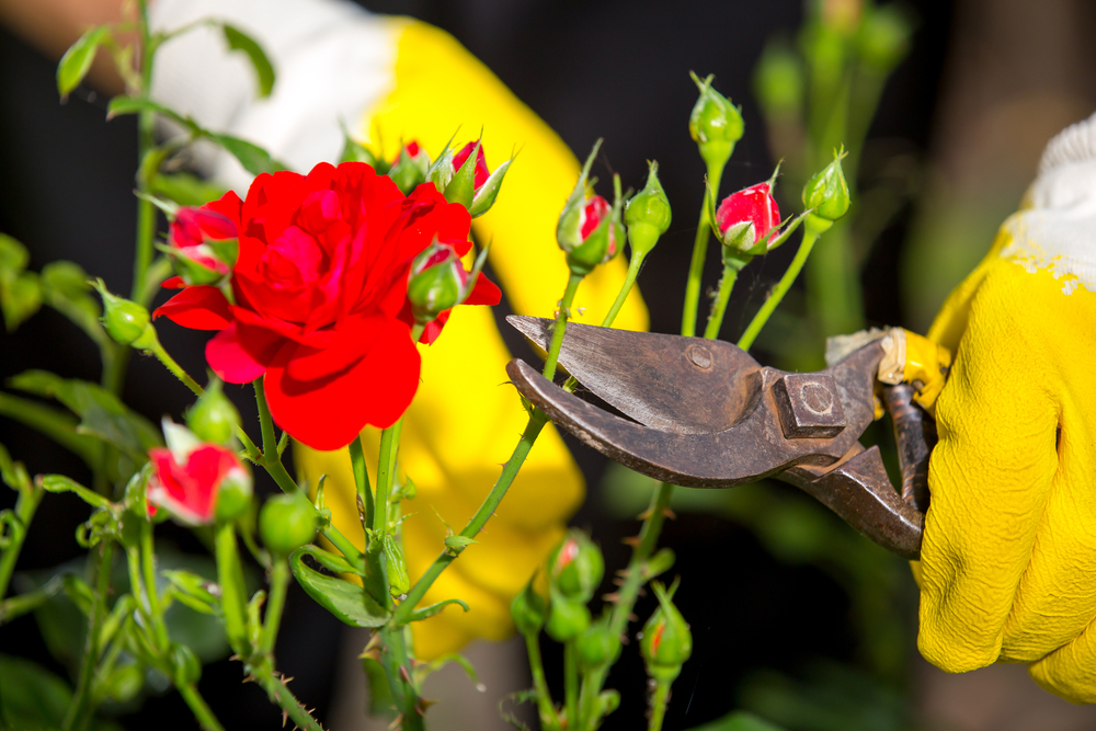 Rose Pruning Gloves are the key to pruning your roses effectively